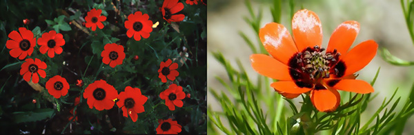 adonis-flower-has-8-petals